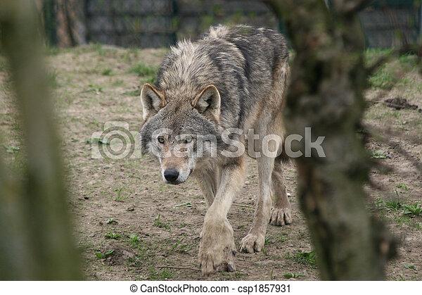 wolf hunting - csp1857931