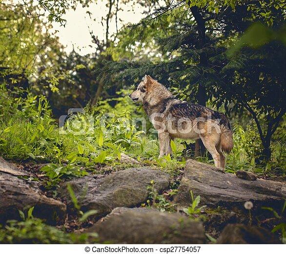 Wolf in forest - csp27754057
