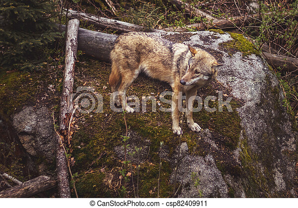 wolf in the forest - csp82409911