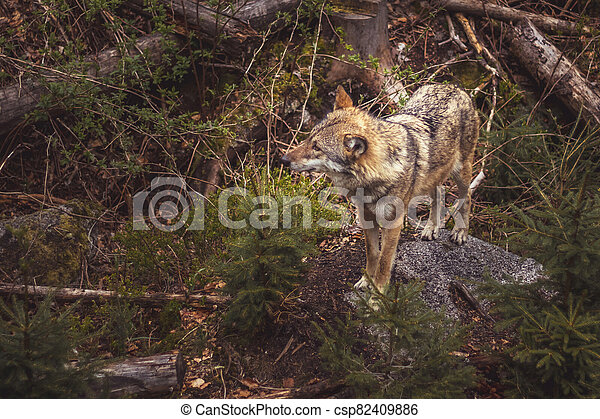 wolf in the forest - csp82409886