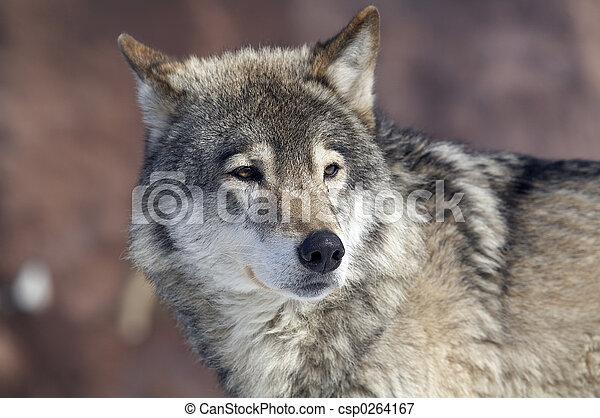 wolf - csp0264167