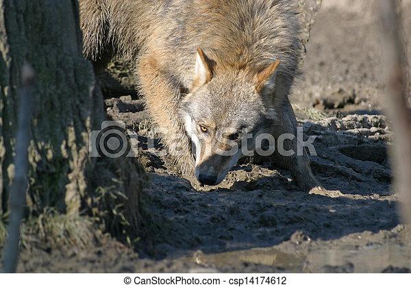Wolf - csp14174612