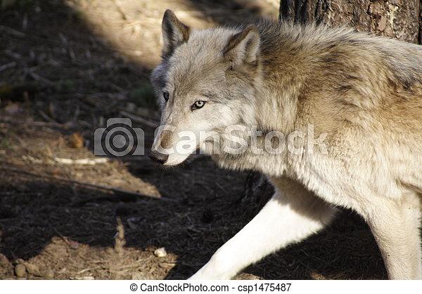 Wolf - csp1475487
