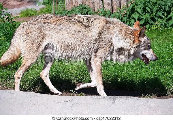 Wolf - csp17022312