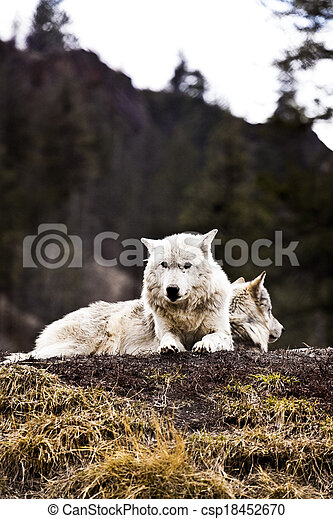 Wolf - csp18452670
