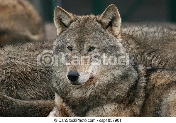 wolf - csp1857901