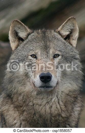wolf - csp1858057