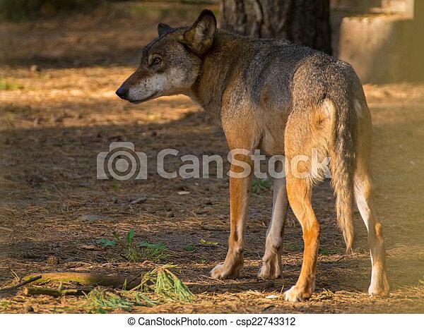 Wolf - csp22743312