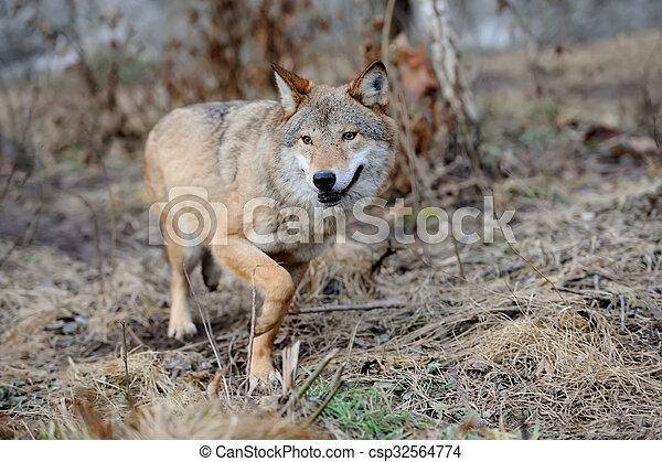 Wolf - csp32564774