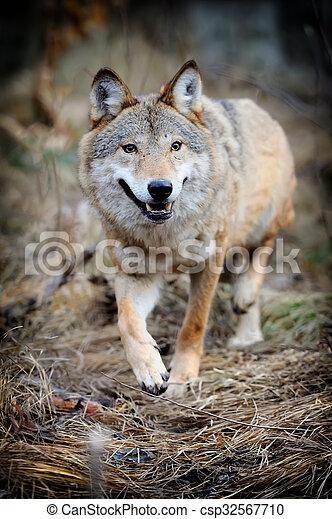 Wolf - csp32567710