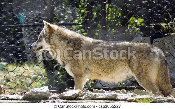 wolf - csp3655227