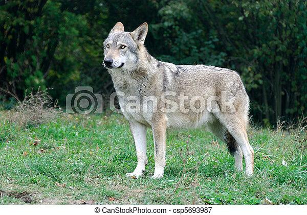 wolf - csp5693987