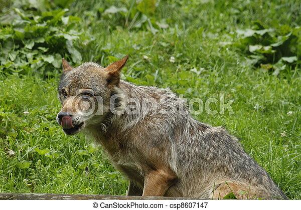 Wolf - csp8607147