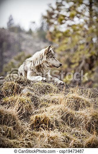 Wolf - csp19473487