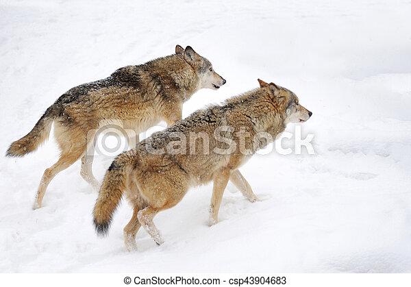 Wolf - csp43904683