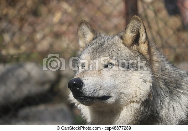 wolf - csp48877289
