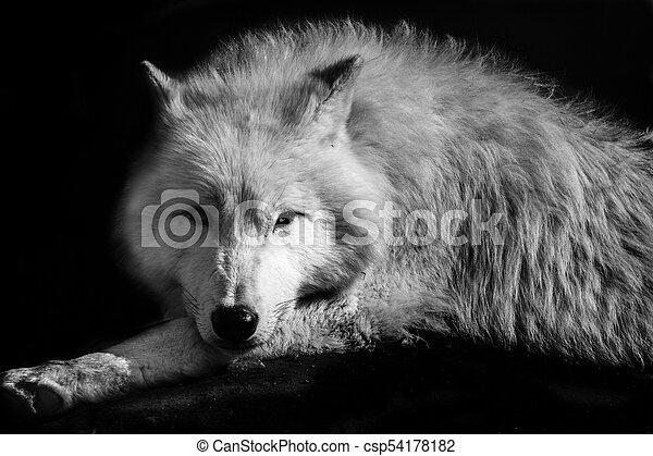 Wolf - csp54178182