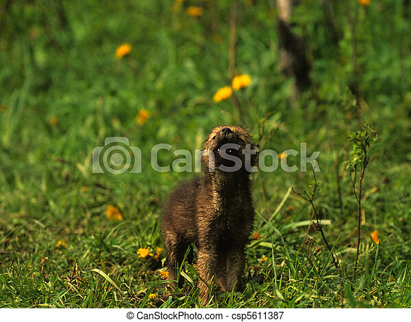 Wolf Pup Howling - csp5611387