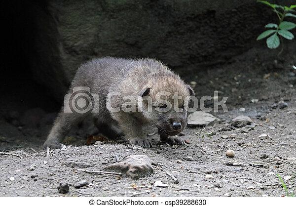 Wolf pup - csp39288630