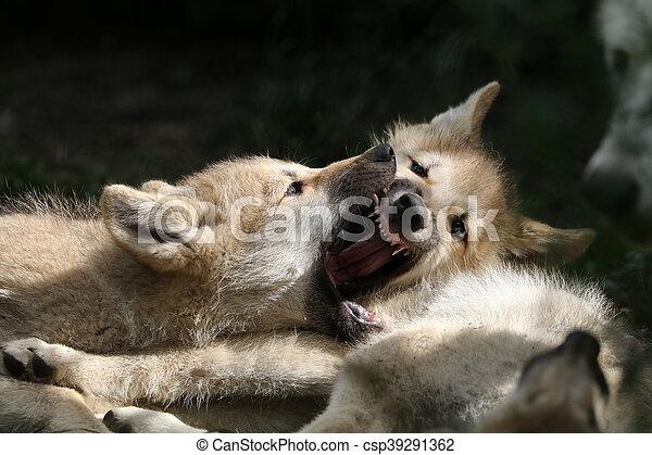 Wolf puppies - csp39291362