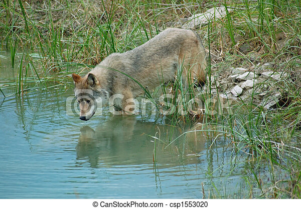 Wolf reflections - csp1553020