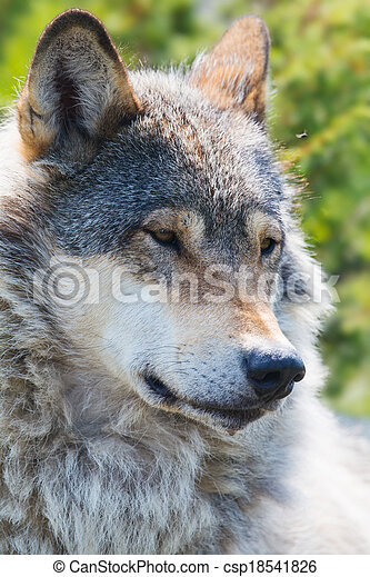 Wolf rests in the forest - csp18541826