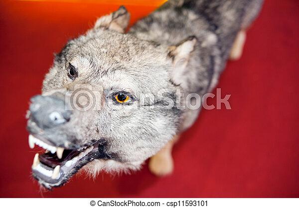 Wolf, specimen - csp11593101