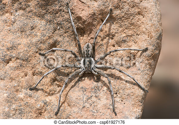 Wolf Spider (Lycosidae) - csp61927176