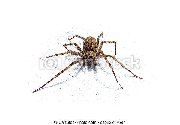 Wolf spider (Lycosidae) - csp22217697