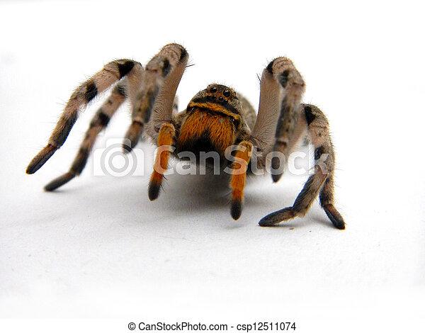 Wolf spider - csp12511074