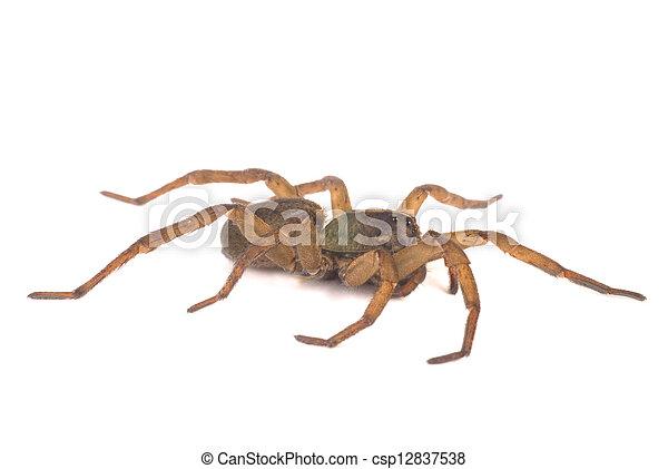 Wolf Spider Profile - csp12837538
