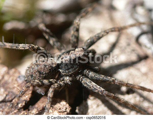 Wolf Spider - csp0652016