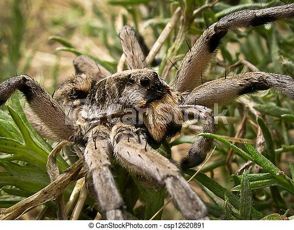Wolf Spider - csp12620891