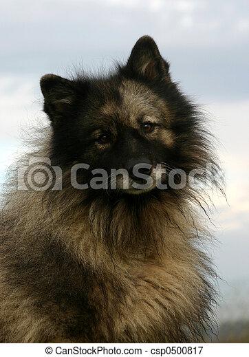 wolf spitz - csp0500817