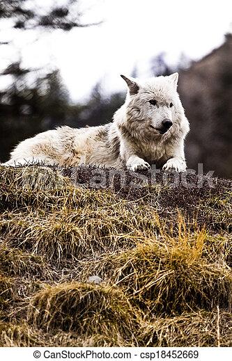 Wolf - csp18452669