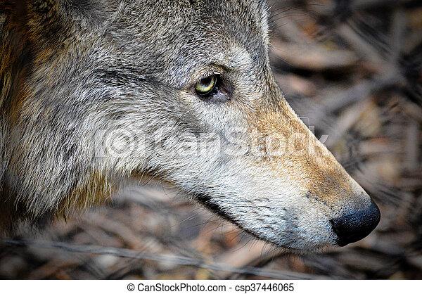 Wolf - csp37446065