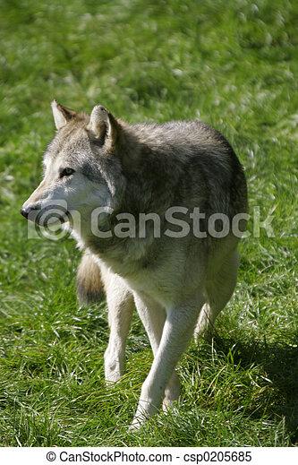 Wolf - csp0205685