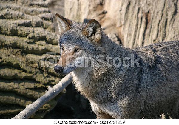 Wolf - csp12731259