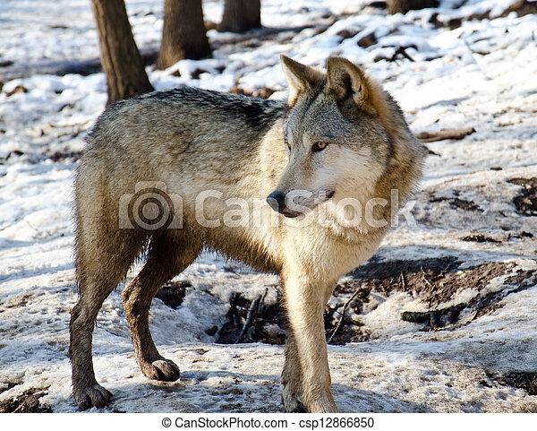 Wolf - csp12866850