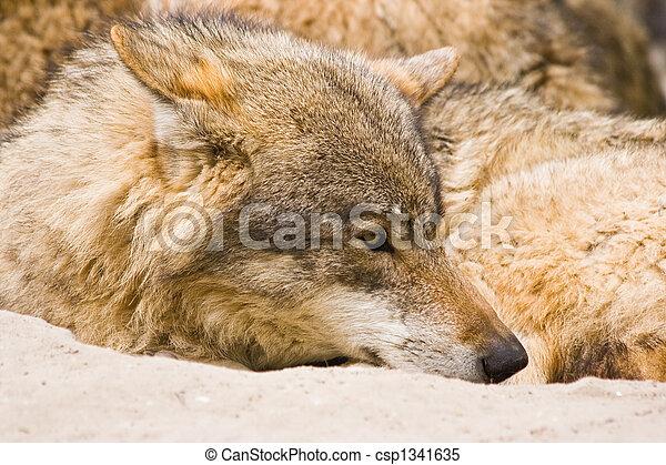 Wolf - csp1341635