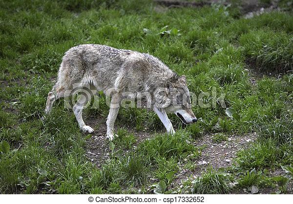 wolf - csp17332652