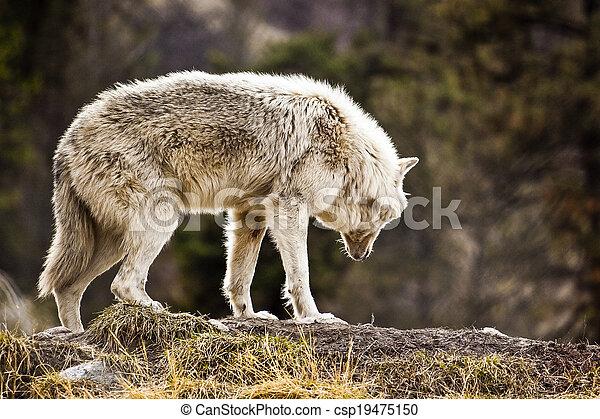 Wolf - csp19475150