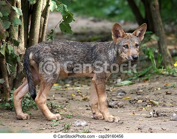 Wolf - csp29160456