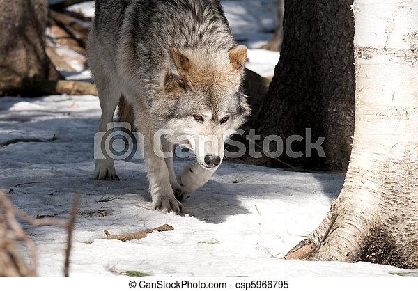 wolf - csp5966795