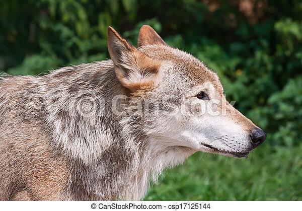 Wolf - csp17125144