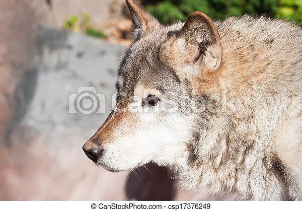 Wolf - csp17376249