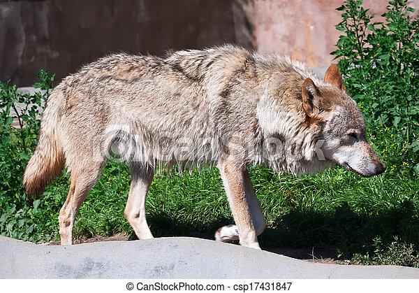 Wolf - csp17431847