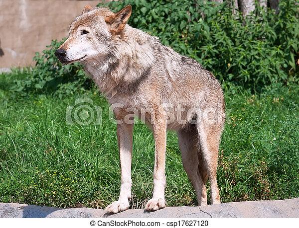 Wolf - csp17627120