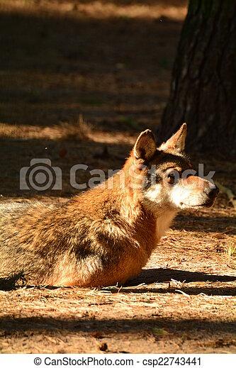 Wolf - csp22743441