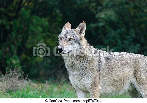 wolf - csp5767944